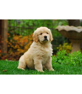 Pack Golden Retriever